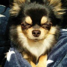 得意のチーン顔ではありません🙊(笑) § 今日は日中ポカポカ暖かかったのでバンビは外でシエルは窓際で日向ぼっこをしました✨☀✨ 黒いからかすぐに背中が熱くなる位ポッカポカ☀☀☀ § しばらくするとシエルが眩しいのか気持ちいいのかうとうとしていました🙊💞😪 § このちょっと前まで寝てたのにまだ寝るの〰⁉とビックリ😂💦 だって今日の起床は11:30⏰💥 朝ごはんはお昼時🍚 なんてうらやましい生活なんでしょう😲💓 せめて朝起きてお散歩と🍚済ませてからまた寝ればいーのにな😔 § みなさんの🐶ちゃんは何時に起きますか⁉💡 こんなお寝坊はうちだけですよね😅 § ちなみに食いしん坊シエルはどんなに眠くても🍚の音がするとスタッ💨と素早く起きます(笑) それなら最初から起きておくれ😤🐶💕 バンビは🍚には釣られません🙅(笑)🙊 チワワちゃんがいたら飛び起きるかも〰😍💓💞 §  #でもそんな寝坊助な所もかわいい大好き #布団めくって迷惑そうな顔をしてるのを見るのが好き #まだ起きないの〰と話しかけつつ起こす気はない…