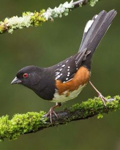 Spotted Towhee. My first one was 8/11/16 on Bright Angel Trail at the Grand Canyon. Guess how I found him? Yep, the leaf-scratching noise!