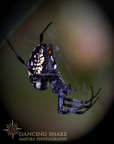 IMG_1246 Orb Weaver ©Dancing Snake Nature Photography