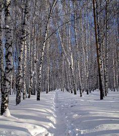 Берёзовая роща зимой. #берёзы #зима #birch #winter