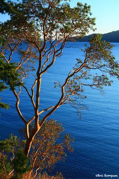 Madrone tree... Orcas Island, Washington Washington State Parks, Painting The Roses Red, Street Trees, Ocean Pictures, Orcas Island, San Juan Islands, Photo Tree, Autumn Trees, Watercolor Landscape