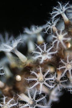 Coral polyps feeding