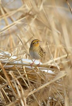 LeConte's Sparrow - I would swear up and down that I saw one of these outside of work, but supposedly their range doesn't overlap with Oregon. Do they have any look-allies? Scappoose, OR,12/2/16