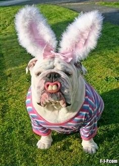 Funny Bunny Rabbit Bulldog Joke Photo Image
