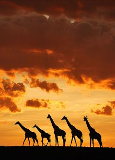 5 giraffes by Muriel Vekemans | Sunset in the Masai Mara, Kenya