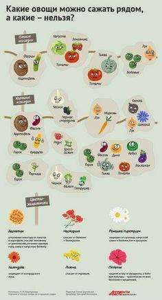 Порядок на грядках: какие растения несовместимы друг с другом. Инфографика   Памятка   ИНФОГРАФИКА   АиФ Краснодар