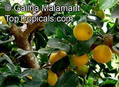 Exotic Fruit, Exotic Plants, Agriculture, Farming, Garden Catalogs, Green Flowers, Hedges, Shrubs, November