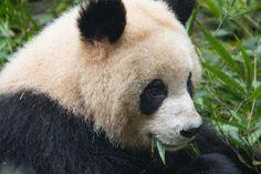 Distribución del oso panda