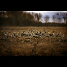GeeseCornField #canoncameras #canon #canonphotography #canon_official #photoshop #photographicart #time  #insta_armagh #freedomthinkers #heatercentral  #country  #nature #naturephotography #nature_shares #landscape #landscapephotography #featureshotz #thelenslives #mystiquephotos #geese #winter #cornfield