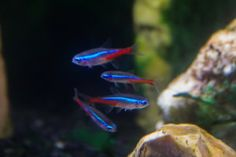 How to look after Neon Tetra Fish! What to feed? Other fish? Difference between Cardinal Tetra. Neon Tetra Fish, Parrot Fish, Angel Fish, Aquariums, Aquarium Fish, Ph, Water, Pisces, Tanked Aquariums