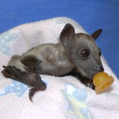 Stop the presses. It's a baby bat with a binky.