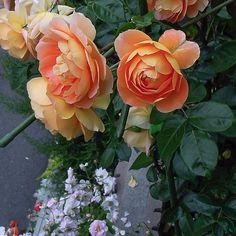 我が家の薔薇  パットオースチン 〜過去picより〜 #rose#roses#rosegarden #薔薇#ばら#バラ #花#flower#flowers #garden#gardening #ガーデン#ガーデニング #私の庭 #beautiful#cute#love#happy #綺麗#美しい #写真好きな人と繋がりたい #写真撮ってる人と繋がりたい #ファインダー越しの私の世界 #instaphoto#instaflower