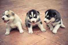 husky-siberiano_7-racas-cachorros-mais-fofos-do-mundo Animals And Pets, Baby Animals, Cute Animals, Pet Dogs, Dogs And Puppies, Baby Huskies, Dog Wear, Cute Little Things, Puppy Love