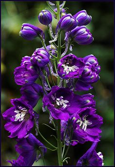 ...and Larkspur but what I have coming up doesn't resemble this at all. It'll be a surprise I guess.