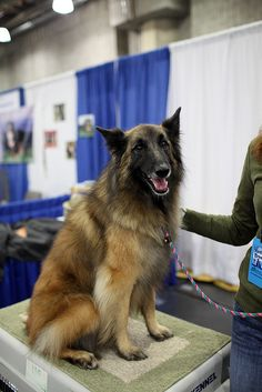 Gorgeous Conformation Belgian Tervuren. Looks like Haley with those ears :)