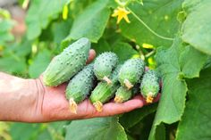When it comes to trying to find a better way to grow cucumbers - sometimes you have to think outside the box - or at least traditional gardening.