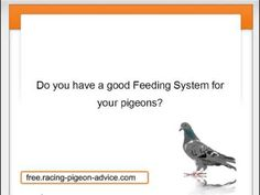 Find out precisely what the brand-new improvements within the quick rushing pigeon activity are generally. #homing_pigeon #pigeons #racing_pigeon #homing_pigeons #pigeon