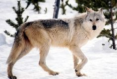 The return of the gray wolf and the debate over hunting
