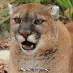 """""""Sassy Cougar, what are you saying?"""" Do you ever just wish you knew what your cat is thinking?"""