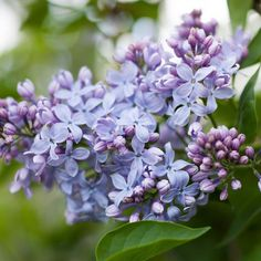 "10k Likes, 102 Comments - Better Homes & Gardens (@betterhomesandgardens) on Instagram: ""For the love of lilacs! 😍  We can't wait until our lilac bushes are in full bloom!"""