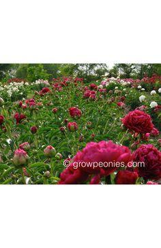 Paul M. Wild Peony — Countryside Gardens, Inc. Buy Peonies, Peony, Countryside, Bloom, Gardens, Flowers, Red, Peony Flower, Florals