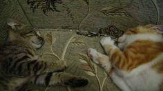 Cats of a madia activist راحة بعد معركة طويلة عبودي ولورا  قطط الاعلامي أبو عمر الشهادة