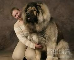 Image result for Some of the Biggest Dogs in the World