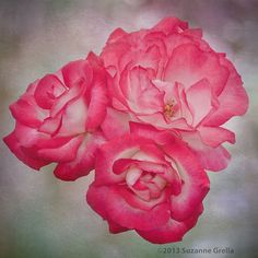 Photograph 3 Roses by Suzanne Grella on 500px