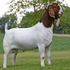 Sell Boer Goat and Sheep Best from . Cabras Boer, Kiko Goats, Goats For Sale, Female Goat, Show Goats, Nubian Goat, Boer Goats, Showing Livestock, Goat Farming