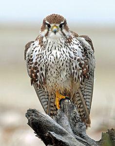 Prairie Falcon -Falco mexicanus