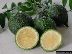 Australian Bush Tucker Australian Round Lime fruits - Microcitrus australis