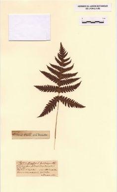 Plante récoltée par Jean-Jacques Rousseau   Phegopteris connectilis (Michx.) Watt   Polypodium phegopteris L.
