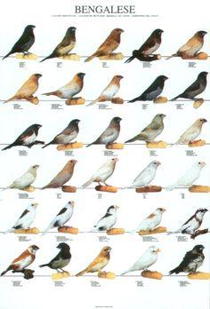 com - Bird Posters Little Birds, Love Birds, Beautiful Birds, Exotic Birds, Colorful Birds, Owl Bird, Pet Birds, Zebra Finch, Canary Birds