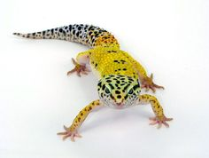 Gecko leopardo (Eublepharis macularius)