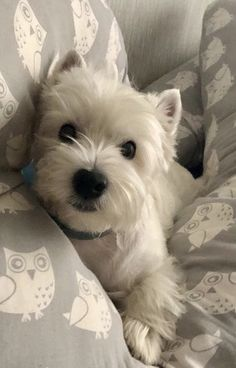 Westie Puppies, Cute Puppies, Cute Dogs, Dogs And Puppies, Doggies, Cute Baby Animals, Animals And Pets, Funny Dog Memes, West Highland Terrier