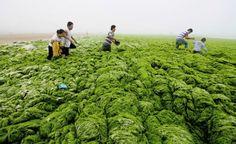Un mare di alghe. Cina, un gruppo di persone attraversa la costa di Qingdao ricoperta da un'ondata anomala di alghe. (Reuters/China Daily)