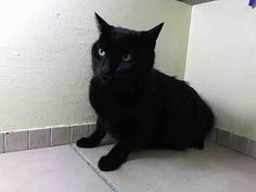 Killed at ACC- NYC ** TO BE DESTROYED!!** Friday, Aug.1'14 LUCKY.loves to play, enjoys petting, and loves to cuddle and be picked up.  ID # is A0717912. Neutered male black bombay mix. about 7 YEARS old.OWNER SUR reason stated was ALLERGIES. https://www.facebook.com/nycurgentcats/photos/a.836635609687761.1073742384.220724831278845/836635629687759/?type=3&theater