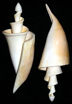 Center Swirl Lambis Lambis Conch Shell 7 Sold in by NauticalSales