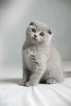 Most Popular Flat Faced Cat Breeds in The World dolce vita des doux coeurs, scottish fold Gato Scottish Fold, Scottish Fold Kittens, Scottish Fold Munchkin Cat, Kittens Cutest, Cats And Kittens, Cute Cats, Ragdoll Cats, Bb Chat, Quiet Cat