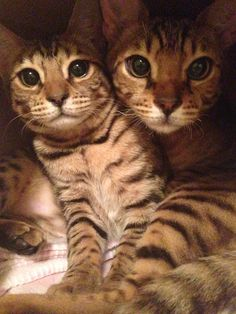 Adopting a new #Cat? See the best way to get #cats to meet each other. via @PetsAreFound