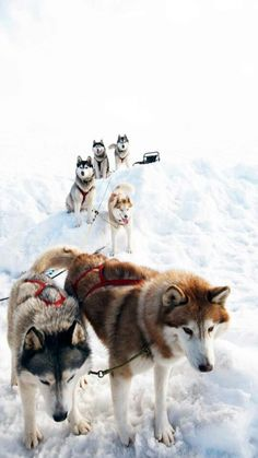 Waiting sled dogs