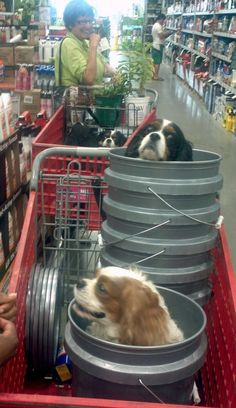 cavalier king charles And what do you have in your shopping cart at Home Depot?