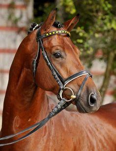 German Sport Horse stallion Quadrofino