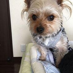 まくらを占拠した!  #犬 #dog #pet #cute #犬バカ #犬バカクラブ  #親バカ #baby #hobby #ヨークシャテリア #ヨークシャテリア好き #ヨーキー #ペット #愛犬 #かわいい #愛知の奇跡 #1000年に一匹の逸材 #yorkshireterrier #yorkshire #yorkie #NoHinakoNoLife