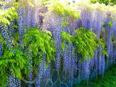 https://flic.kr/p/bBmnqS   Spring Wisteria Wall   Wisteria (also spelled Wistaria or Wysteria) is a genus of flowering plants in the pea family,