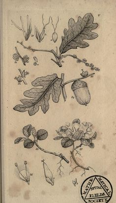 """Acorn.  """"LYSANDER: Get you gone, you dwarf; You minimus, of hindering knot-grass made; You bead, you acorn."""""""