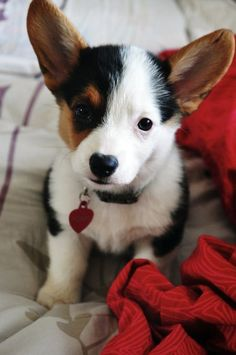 Corgi puppy...why are they soooo cute and then grow up to be so unbalanced-looking?  Kind of like calves...jumpy, happy, sweet, then WHAM, they get big and dopey!