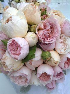prettie-sweet: pretty david austin rose posie (by Petals Leaves)