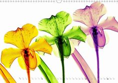 FLEURS 2015 - Florale Fotokunst mit Röntgenstrahlen - CALVENDO Kalender von Martin Strunk - www.calvendo.de/galerie/fleurs-2015-florale-fotokunst-mit-roentgenstrahlen/ -#blumen #blume #flowers #calendars #Kalender #calvendo