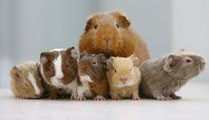 Avalon Guinea Pig Rescue by AvalonGPR, via Flickr